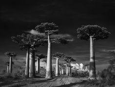 Beth-Moon-Ancient Trees-Portraits of Time-2