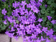 Campanula Portenschlagiana Purple Flowering Groundcover | Northern Shade Gardening