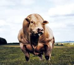 The poor cows he is going tohavehis way with. Belgian Blue Cattle, Farm Animals, Animals And Pets, Bull Cow, Bullen, Beef Cattle, Bull Riding, African Animals, Fauna