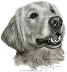 Golden Retriever Portrait - Original pencil drawing - Prints, apparel ...
