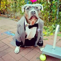 Date night! | Meet The Swaggiest, Most Handsome Pit Bull On Instagram