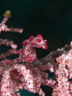 Hippocampe pygmée au mimétisme physique :