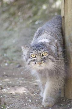 The Manul - Pallas cat - Chat de Pallas I Love Cats, Big Cats, Crazy Cats, Cats And Kittens, Cute Cats, Small Wild Cats, Small Cat, Felis Manul, Pallas's Cat