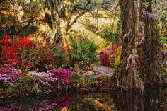 The most beautiful gardens in Charleston, Magnolia Plantation and Gardens. Magnolia Plantation, Most Beautiful Gardens, How Beautiful, Relaxing Photos, Down South, Tree Of Life, Oh The Places You'll Go, Travel Pictures