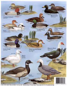 Waterfowl Identification Chart Provided By Silverton Sporting Ranch In Canaan Maine They Offer Bird Hunts That Are Par Excellant