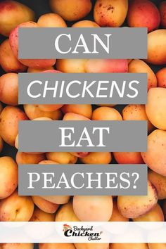 My Backyard Chickens love to enjoy peaches, no matter how you give them this tasty treat. We've also compiled a few ways that can keep your hens busy while pecking at this fruit! Chicken Eating, Chicken Feed, Canned Chicken, Food For Chickens, Backyard Chickens, Chocolate Syrup, Homemade Chocolate, Chicken Treats, Chicken Recipes