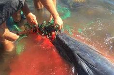 These Heroic Dudes Saved A Wee Whale Caught In A Fishing Net