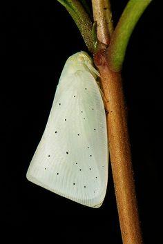 Flatid Planthopper (Cryptoflata guttularis, Flatidae) <3