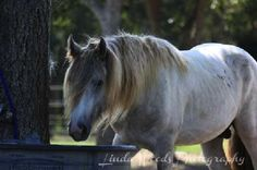 Jameson Vanner stallion   Magic Gypsy Ranch Valorie's Vanners
