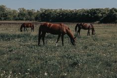 Unfortunately, all horses are at risk for laminitis to some degree. Research has proven that some are much more likely to experience this condition than others though. Horse owners should be aware of these factors! Laminitis is crippling, and sometimes even fatal. You should definitely take it seriously!