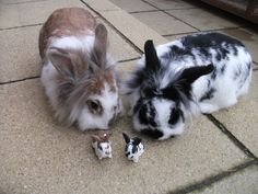 Not to mention how adorable lion head bunnies Cute Baby Bunnies, Cute Baby Animals, Animals And Pets, Cutest Bunnies, Rabbit Pictures, Funny Animal Pictures, Lionhead Rabbit, Lionhead Bunnies, Cutest Bunny Ever