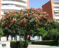Árbol: Acacia de Constantinopla (Albicia julibrissin rosea)
