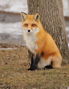☀Renard Roux Red Fox 19-02-13 by r.gelly