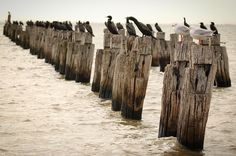 #outnumbered #birds #jetty #pier #deadjettysociety #cliftonsprings #victoria #australia by jaredhuntermason http://ift.tt/1JO3Y6G