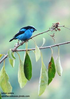 Turquoise dacnis (Dacnis hartlaubi) is a rather distinct species of dacnis, formerly separated in the monotypic genus Pseudodacnis.