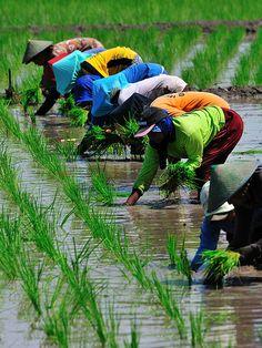 Planting paddy field