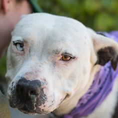 Update Nov 2015: Adopted! My name is Mitzy, I'm about 5 years old. I'm an affectionate lap dog who loves cuddles. I'm gentle, friendly and love everyone I've ever met. I'm also great on a leash. The volunteers think I have beautiful eyes. I was a longest term resident and was sponsored. If you'd like to adopt a dog like me, visit Oakland Animal Services.