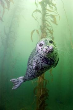 Seal swimming through kelp forest