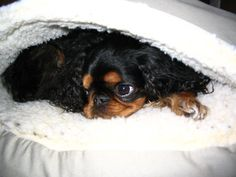 Gabbie, an English Toy Spaniel, all snug in her clam.  This breeds nickname is The Comforter - and with good reason - she'd rather be snuggled up with me than any other place in the world.  I'm SO LUCKY!