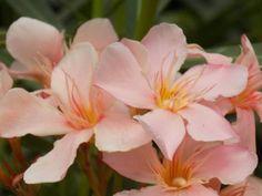 Itt a leander metszésének és fiatalításának ideje - Így csináld! | Balkonada Bougainvillea, Garden, Plants, Flowers, Garten, Lawn And Garden, Gardens, Plant, Gardening