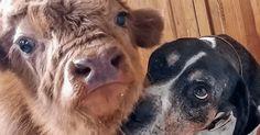 Этого отвергнутого стадом теленка воспитали собаки