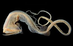 The whiptail gulper is a deep-sea fish noted for its ability to swallow very large prey, at least as large as its own body size. Deep Sea Creatures, Weird Creatures, Underwater Creatures, Underwater Life, Sea Snake, Fauna Marina, Fish Face, Weird Fish, Jellyfish Art