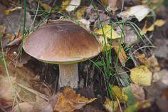 Белый гриб среди осенних листьев. (Россия, Outdoor)