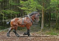 Probably descended from horse Solutré, the Ardennes is one of the oldest breeds of horses in France. From Roman times to the nineteenth century, the population has responded to the needs of war and agriculture. Hardiness, sobriety, obedience, strength and endurance are still its main features.