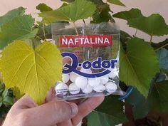 INCRIVEL coloque 3 caroços de naftalina nas suas plantas e confiram o super resultado.. - YouTube