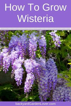 Hydroponic Gardening Ideas Wisteria vines are full of lavender-blue flowers that cascade from the branches in a spectacular display of beauty. Learn how to grow wisteria from seed and cuttings, and what kind of care it needs to thrive. Garden Shrubs, Lawn And Garden, Garden Tips, Garden Care, Herb Garden, Garden Vine Ideas, Perennial Garden Plans, Shade Garden Plants, Perennial Gardens