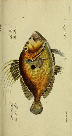Atlas - D. Marcus Elieser Bloch's, ausübenden Arztes zu Berlin ... Ökonomische Naturgeschichte der Fische Deutschlands : - Biodiversity Heritage Library