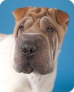 NO LONGER LISTED- Chicago, IL - Shar Pei. Meet Barney, a dog for adoption. http://www.adoptapet.com/pet/14564133-chicago-illinois-shar-pei