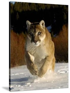 Park Pictures, Animal Pictures, Mountain Lion Pictures, Beautiful Cats, Animals Beautiful, Animals And Pets, Cute Animals, Majestic Animals, Big Cats