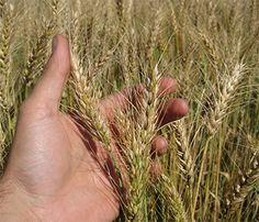 Wheat, Hard Red Winter, Modern Organic