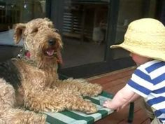 """""""Dr. Ptolemy"""" with Gertrude and Molly.  Lovely Airedales.  Another YouTube video byBuddhaBoyClips"""