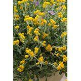 Chrysocephalum apiculatum 'Yellow Buttons'