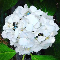 ウチの庭の紫陽花(白) #landscape