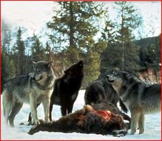 La meute de Loup-garou