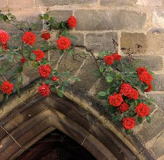 Trailing roses. I wonder how hard this is. . .