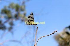 """Eine Libelle """"Graphic Flutterer Dragonfly"""" im Litchfield National Park im Northern Territory"""