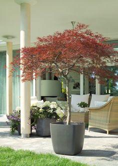 hoher sichtschutz winterhart miscanthus floridulus. Black Bedroom Furniture Sets. Home Design Ideas