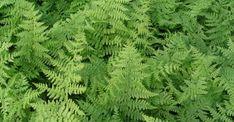 Athyrium filix-femina op vasteplant.be