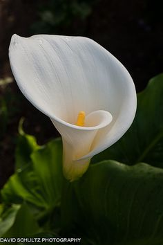 White Calla lily (Zantedeschia aethiopica) also known as an arum lily.