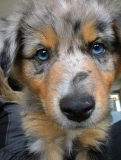 blue merle australian shepherd puppy by vicky