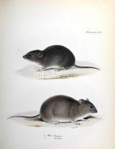 Olive Akodont, Polynesian rat   ...