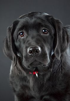 Beautiful English black Lab puppy