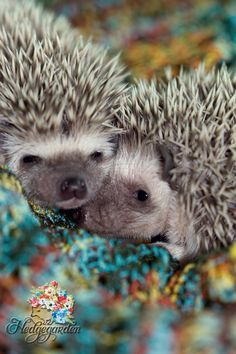 #hedgehog #baby