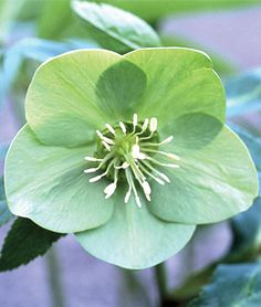 Hellebore, Green Ice  Pure green, outfacing blooms.	 1 plant $15.95    Burpee Exclusive  A wondrous new shade—pure green out facing blooms are a worthy addition to your hellebore collection.    lifecycle: Perennial     Zone: 5-8     Height: 18  inches    Spread: 24  inches