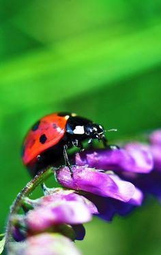 ladybug2   Flickr - Photo Sharing!