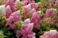 We just got a new hydrangea for one of our porch beds and I'm really excited about it. It is Hydrangea paniculata 'Vanilla Strawberry' a. Hortensia Hydrangea, Hydrangea Flower, Pink Flowers, Hydrangea Garden, Hydrangea Shrub, Fall Flowers, Cut Flowers, Limelight Hydrangea, Hydrangea Landscaping